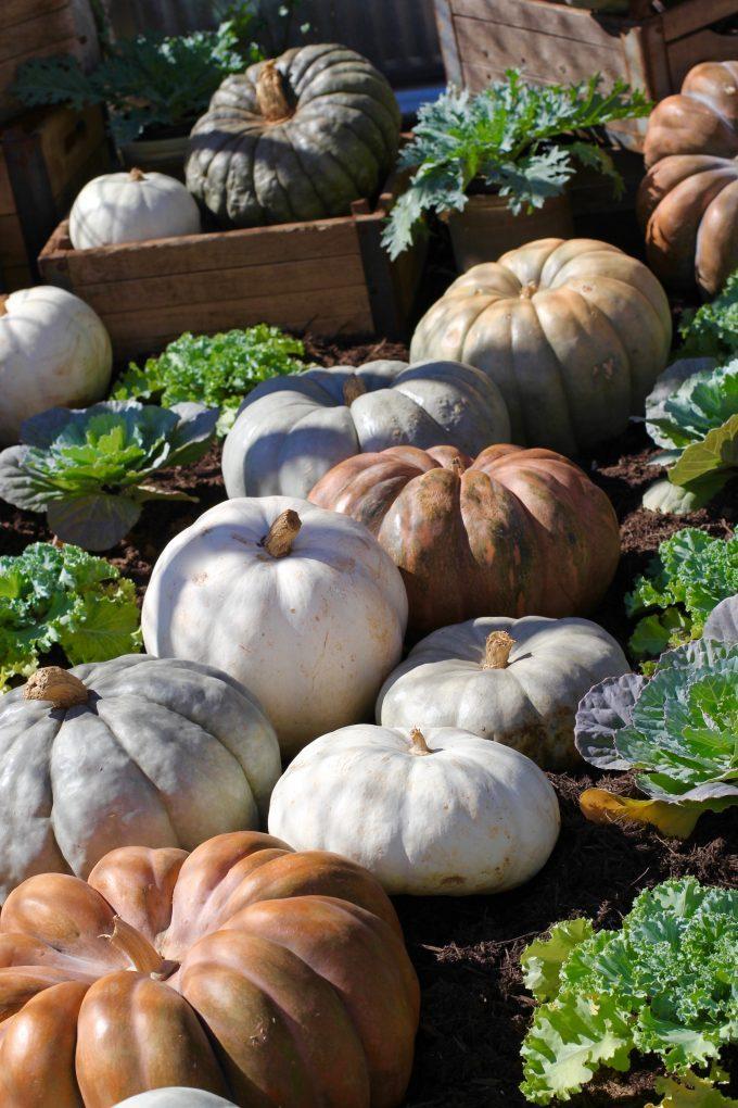 Magnolia Market At The Silos | Chip & Joanna Gaines ~ HGTV Fixer Upper more pumpkins