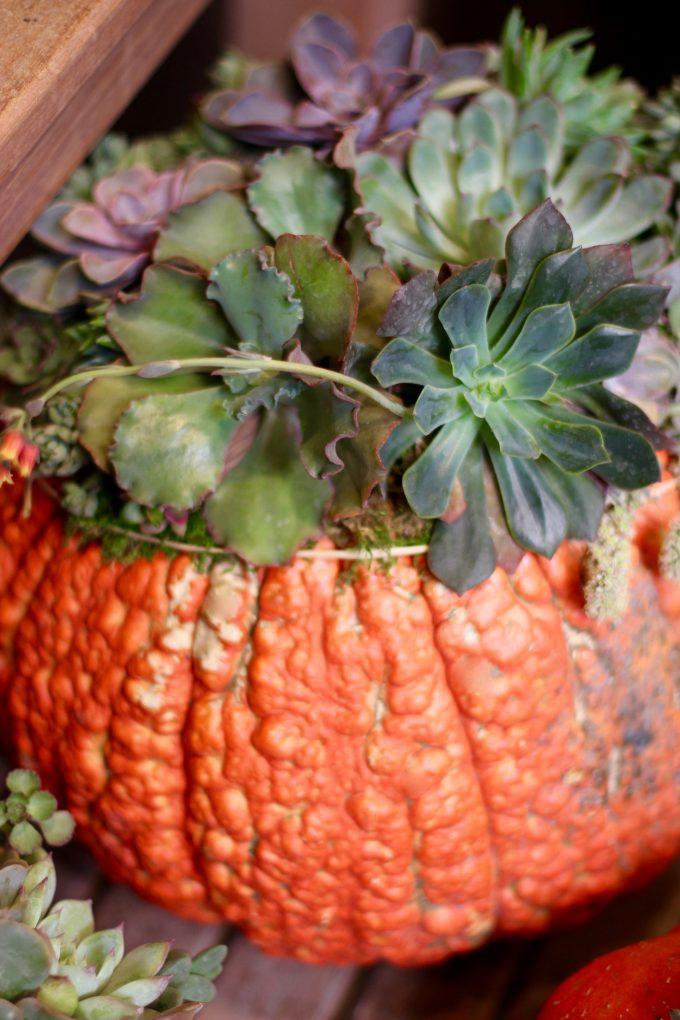 Fall Succulent Topped Pumpkin Centerpieces big