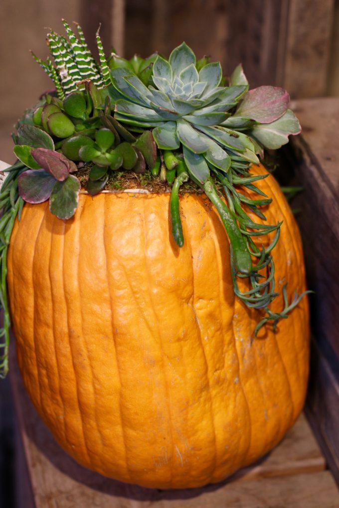 Fall Succulent Topped Pumpkin Centerpieces tall