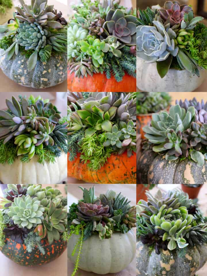 A collage of 9 different succulent pumpkins in different colors and top with succulents.